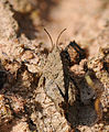 2014-03-31 13-03-54 Orthoptera-14f.jpg