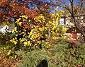2014-10-30 10 05 26 Mulberry and other plants during autumn leaf coloration along Dunmore Avenue in Ewing, New Jersey.JPG