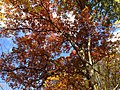 2014-10-30 12 43 13 White Oak during autumn in the woodlands along the West Branch Shabakunk Creek in Ewing, New Jersey.JPG
