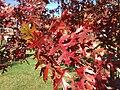 2014-11-02 14 16 15 Scarlet Oak foliage during autumn on Hunters Ridge Drive in Hopewell Township, New Jersey.jpg
