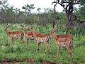 2014-11-23 007 Impalas Aepyceros melampus anagoria.JPG
