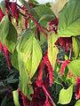 20141108Amaranthus caudatus3.jpg