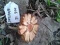 2015-04-03 Inocybe lacera (Fr.) P. Kumm 515764.jpg