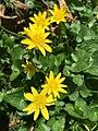 2015-04-12 11 23 35 Lesser celandine blooming on Terrace Boulevard in Ewing, New Jersey.jpg