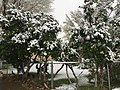 2015-05-07 07 40 21 Lilacs in bloom covered by a late spring wet snowfall on South 1st Street in Elko, Nevada.jpg