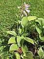 2015-08-04 16 06 47 Hosta flowering along Tranquility Court in the Franklin Farm section of Oak Hill, Virginia.jpg