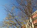 20151214Salix matsudana tortuosa2.jpg