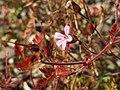 20160830Geranium robertianum.jpg