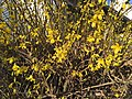 2017-03-03 16 43 29 Forsythia blossoms along Tranquility Court in the Franklin Farm section of Oak Hill, Fairfax County, Virginia.jpg