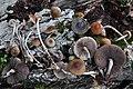 2017-09-07 Psilocybe caerulipes (Peck) Sacc 792581.jpg