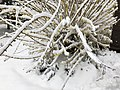 2018-03-21 11 21 20 A Forsythia covered in snow while flowering along Tranquility Court in the Franklin Farm section of Oak Hill, Fairfax County, Virginia.jpg