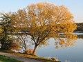 2018-10-22 (878) Salix viminalis (basket willow) at Krems an der Donau, Austria.jpg