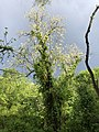 2019-05-02 17 38 27 A Black Locust blooming in a wooded area in the Franklin Farm section of Oak Hill, Fairfax County, Virginia.jpg