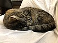 2020-04-02 02 50 45 A tabby cat sleeping on a couch in the Franklin Farm section of Oak Hill, Fairfax County, Virginia.jpg