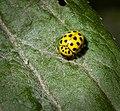 22-spot ladybird (49182921957).jpg