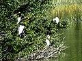 22 Egrets Beaufort SC 6404 (12367686473).jpg