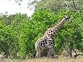 28 Giraffe (11013149316).jpg