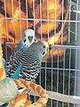 2 domesticated budgerigars.jpg