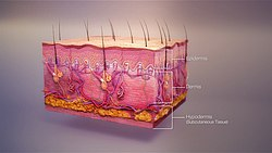 3D medical animation skin layers.jpg