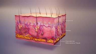 3D medical illustration showing major layers of skin