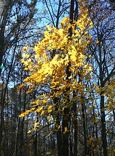 <i>Acer floridanum</i> species of plant