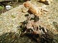 4217Foods Common houseflies Ants of the Philippines 15.jpg