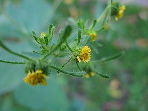 Sigesbeckia - Sigesbeckia serrata