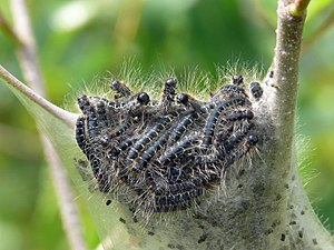 Eriogaster lanestris - A mass of early instar larvae.