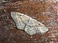 70.032 BF1677 Birch Mocha, Cyclophora albipunctata (14130854215).jpg