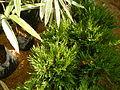 9887jfChusquea culeou Philippinesfvf 03.JPG