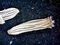 A.integrifolia-cip.-6.jpg