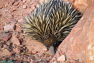 Kalbarri National Park - A short-beaked echidna found on the trail to Nature's Window