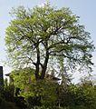 AB ND22 Quercus1.jpg