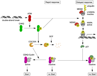 ATM serine/threonine kinase - Image: ATM target proteins (new)