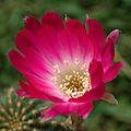 A Cactus Flower for Capt. Suresh.jpg