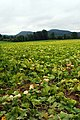 A field of squash with the Holyoke Range in the background. Fort River Division of the Silvio O. Conte National Wildlife Refuge, Hadley, MA. (4927373148).jpg