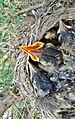 A full nest for the American Robin - Un nid bien rempli pour le Merle d'Amérique - panoramio.jpg