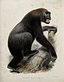 A large male gorilla. Coloured lithograph by J Wolf. Wellcome V0021468.jpg