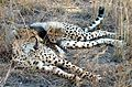 A little cheetah lying on his mom-JD.jpg