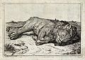 A sleeping lion. Etching by B Picart after himself. Wellcome V0021503.jpg