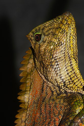 Abbott's crested lizard - Male