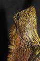 Abbott's Anglehead Lizard (Gonocephalus abbotti) male (8743961455).jpg