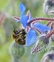 Abeja libando una flor azul (534686087).jpg