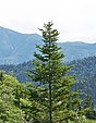 Abies sachalinensis, Gora Lopatina, Sakhalin.jpg
