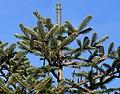 Abies spectabilis (East Himalayan Fir) (31150035612).jpg