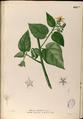 Abroma augustum Blanco2.425b-original.png