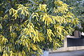 Acacia binervia.jpg