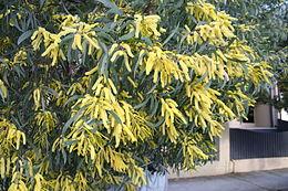 Acacia binervia