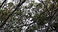 Acacia spirorbis (branches, feuillages, fleurs, fruits).jpg