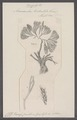 Acamarchis tridentata - - Print - Iconographia Zoologica - Special Collections University of Amsterdam - UBAINV0274 093 11 0006.tif